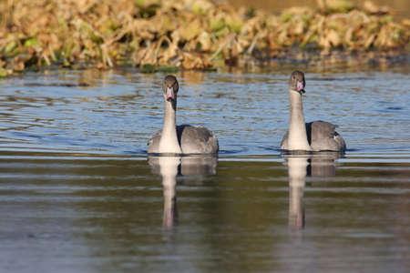 trumpeter swan(Cygnus buccinator) family swimming in  Teton NP USA