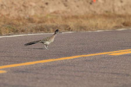 Roadrunner Bosque del Apache wildlife refuge in New Mexico.