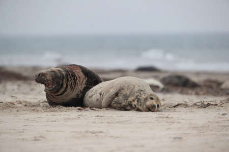 Grey Seal (Halichoerus grypus) Male and female mating on beach island Helgoland Germany