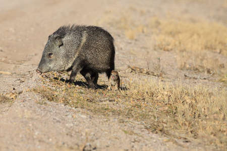 Javelina with cubs at Bosque del Apache National Wildlife Refuge, New Mexico 版權商用圖片 - 119342197