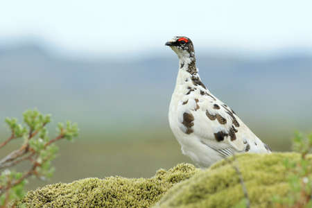 rock ptarmigan (Lagopus muta)  in tundra-like vegetation in Iceland
