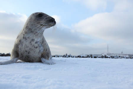 Gray Seal (Halichoerus grypus) playful and curious  in winter, Helgoland 스톡 콘텐츠
