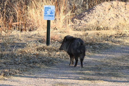 Javelina in Bosque del Apache National Wildlife Refuge, New Mexico Stock Photo