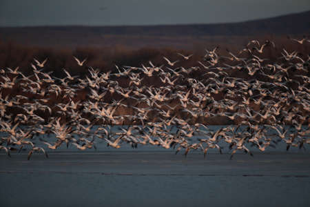 Snow geese Bosque del Apache, New Mexico USA 免版税图像