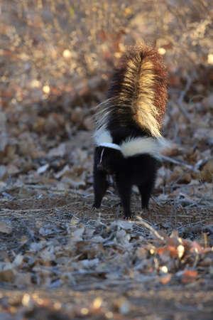 Skunk (Mephitis mephitis) New Mexico Stock Photo