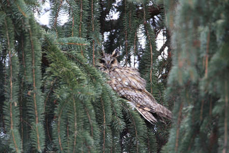 long-eared owl (Asio otus) Germany
