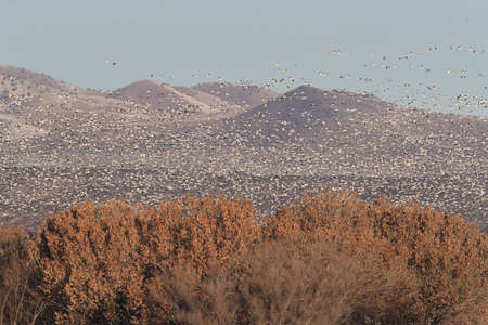 Snow geese Bosque del Apache, New Mexico USA 版權商用圖片