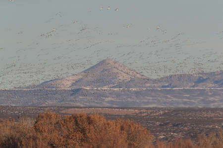 Snow geese Bosque del Apache, New Mexico USA 版權商用圖片 - 119909753