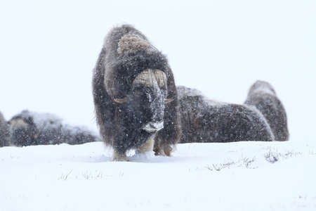 Wild Musk Ox in winter, mountains in Norway, Dovrefjell national park Stock Photo