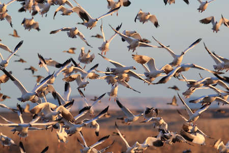 Snow geese Bosque del Apache, New Mexico USA 写真素材