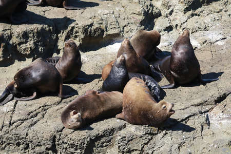 Sea Lions at Cape Arago Cliffs State Park, Coos Bay, Oregon Imagens