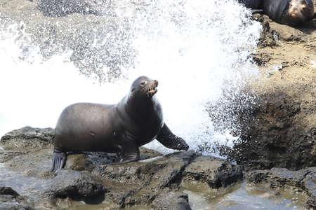 Sea Lions at Cape Arago Cliffs State Park, Coos Bay, Oregon 스톡 콘텐츠