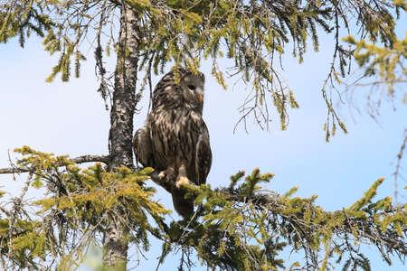Ural Owl (Strix uralensis) Sweden 免版税图像