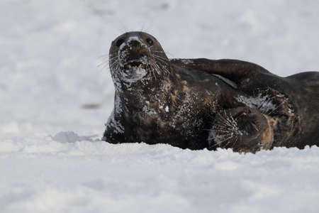 Gray Seal (Halichoerus grypus) playful and curious  in winter, Helgoland Stock Photo