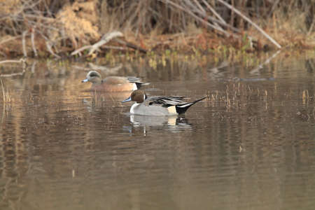 Northern Pintail Ducks wintering at Bosque del Apache National Wildlife Refuge in New Mexico
