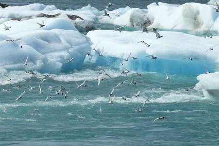 arctic tern, sterna paradisaea  Iceland Stock Photo