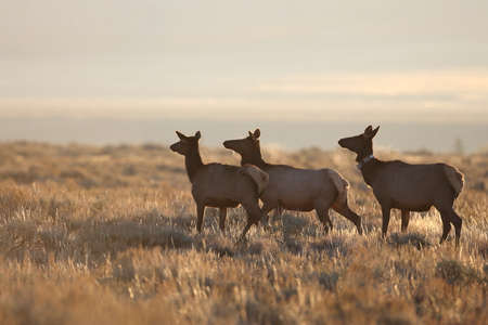 Elk (Wapiti), Cervus elephas, Yellowstone National Park, Wyoming, USA Banque d'images