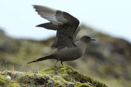 parasitic jaeger (Stercorarius parasiticus) Iceland Фото со стока