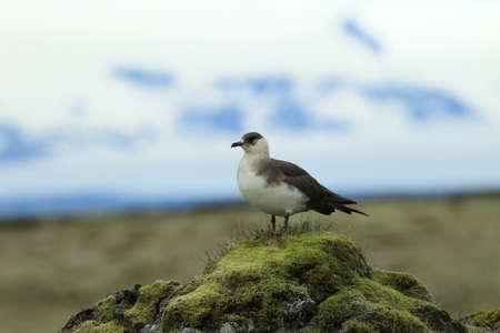 parasitic jaeger (Stercorarius parasiticus) Iceland 版權商用圖片
