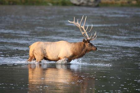 Elk (Wapiti), Cervus elephas, Yellowstone National Park, Wyoming, USA