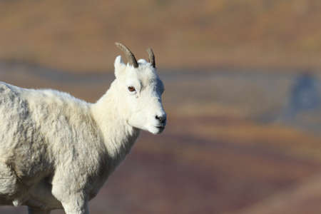 Dall's sheep ewe (Ovis dalli) Denali National Park, Alaska, USA