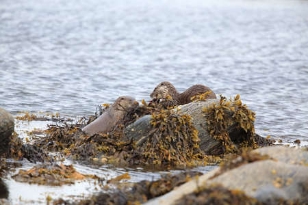 Eurasian otter on the norwegian coast Banco de Imagens