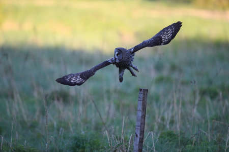 Great grey owl (Strix nebulosa)  Sweden 写真素材