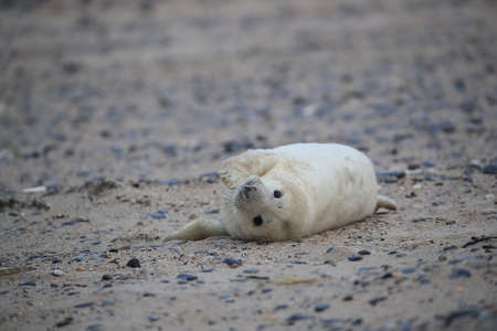 Gray Seal (Halichoerus grypus) Pup  Helgoland Germany Imagens