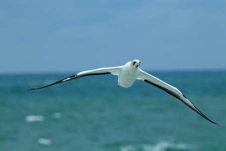 Gannet Bird at Muriwai Beach Auckland Stock Photo