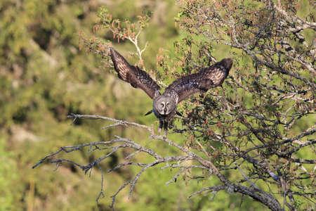 Great grey owl (Strix nebulosa) in Sweden
