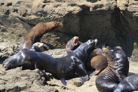 Sea Lions at Cape Arago Cliffs State Park, Coos Bay, Oregon