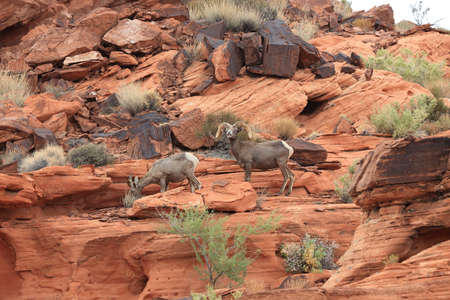 Bighorn sheep in Valley of Fire Nevada