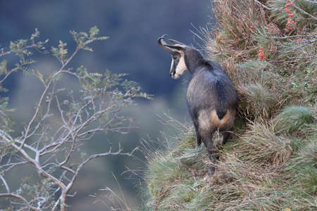 Chamois (Rupicapra rupicapra) in Vosges Mountains, France