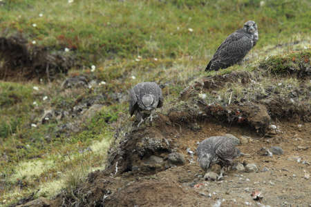 young gyrfalcons on the first explorations around the nest,  Iceland Stock Photo