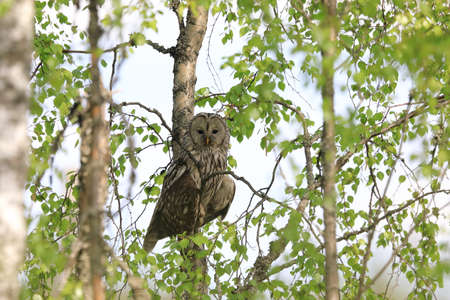 Ural Owl (Strix uralensis) in Sweden