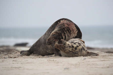 Grey Seal (Halichoerus grypus) Male and female mating on beach island in Helgoland Germany Imagens