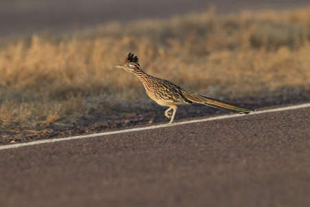 Roadrunner Bosque del Apache wildlife refuge in New Mexico.