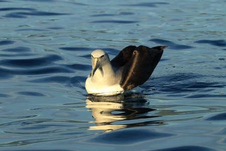 Salvins Albatross at sea New Zealand