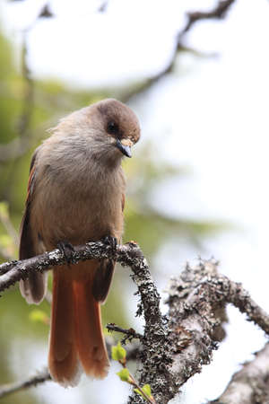 Siberian jay in Sweden