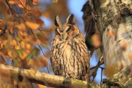 long-eared owl (Asio otus) in Germany Zdjęcie Seryjne