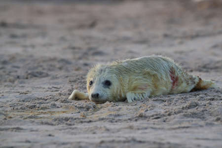 Gray Seal (Halichoerus grypus) Pup in Helgoland Germany Stock Photo