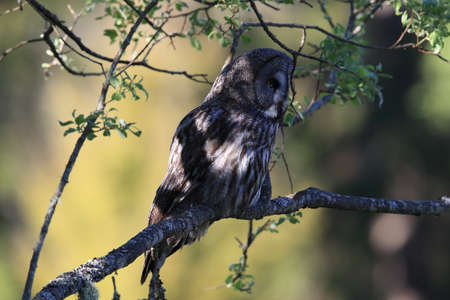 Great grey owl (Strix nebulosa) in Sweden 免版税图像