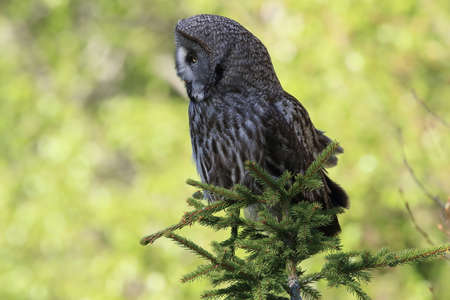 Great grey owl (Strix nebulosa) in Sweden Imagens