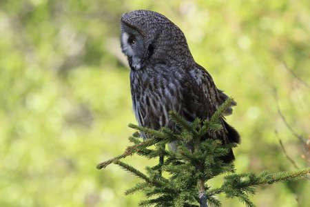 Great grey owl (Strix nebulosa) in Sweden Stock Photo