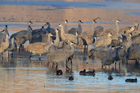 Sandhill Cranes Bosque del Apache Wildlife Reserve in New Mexico USA