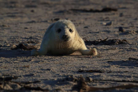 Gray Seal (Halichoerus grypus) Pup in Helgoland Germany