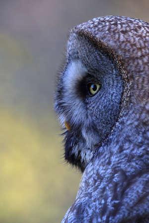 Great grey owl (Strix nebulosa) in Sweden 写真素材