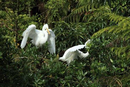great egret  colony at Whataroa New Zealand