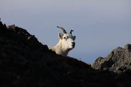 Dalls sheep ewe (Ovis dalli) Denali National Park, Alaska, USA