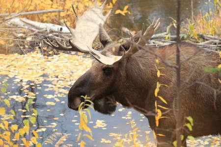 Moose (Alces alces), Yukon Territory, Canada Stok Fotoğraf